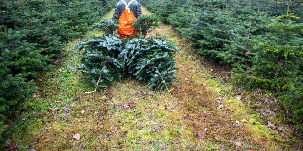 Christmas tree growers 'inunda...