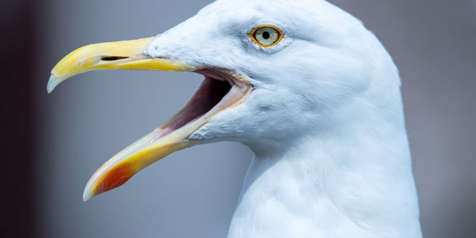 Seagulls In Bahrain Have Becom...