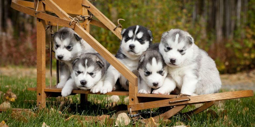 Hear How One Dog Breeder Had A...