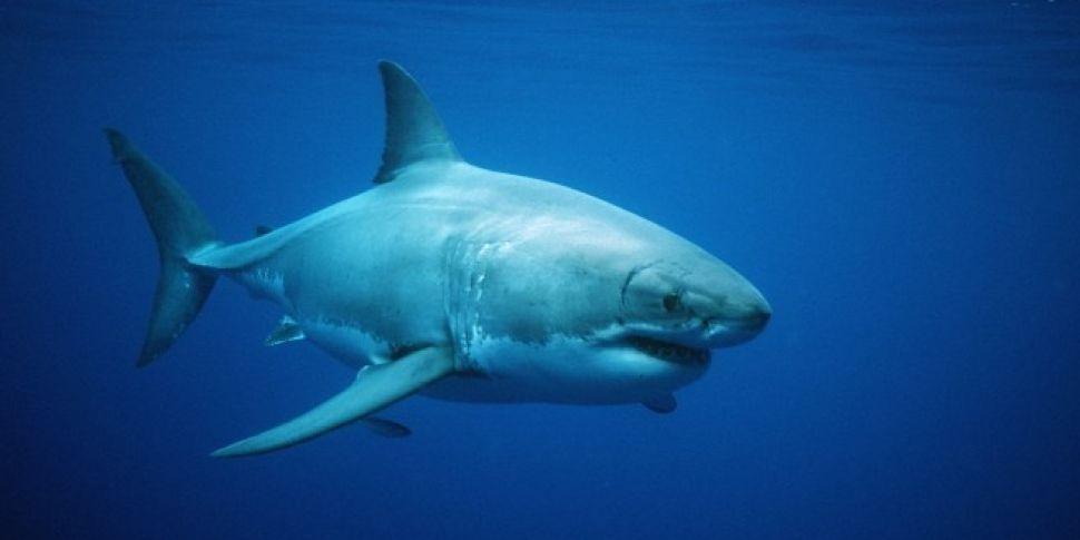Is there a great white shark h...