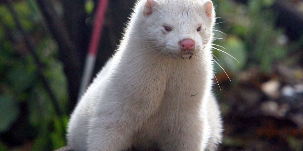 Fur farming set to be banned i...