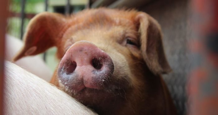 'Don't being pork into Ireland' - Warning as African swine fever spreads
