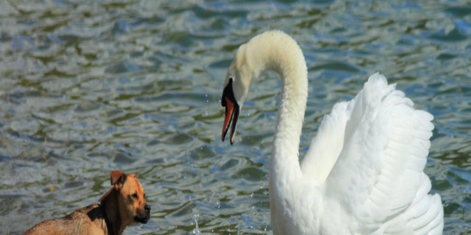 The swan that attacked a dog