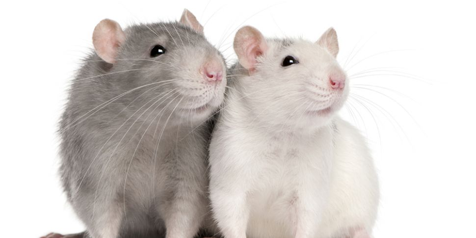 Futureproof Gold: Uptown Rats,...