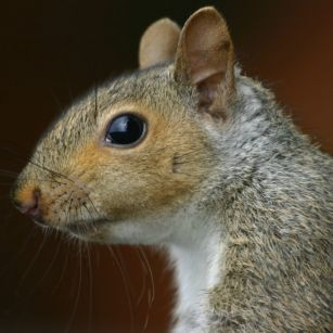 Grey squirrel for dinner?