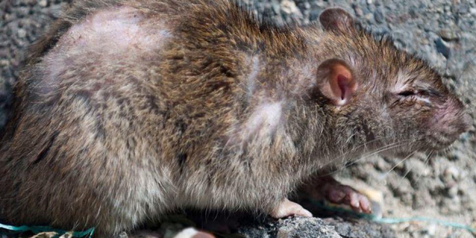 'Giant' 24-inch rat ca...