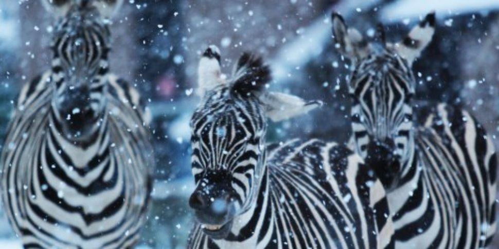 Schools and Belfast Zoo closed...
