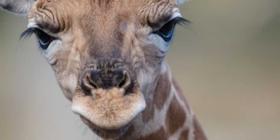 Dublin Zoo welcomes new baby g...
