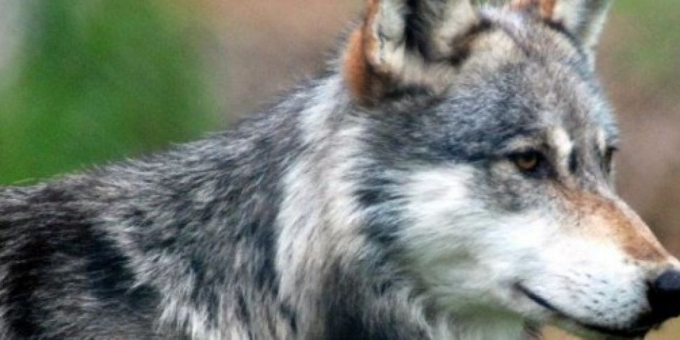 Wolf re-captured after escapin...