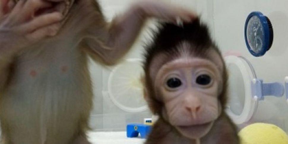 Monkey clones made using techn...