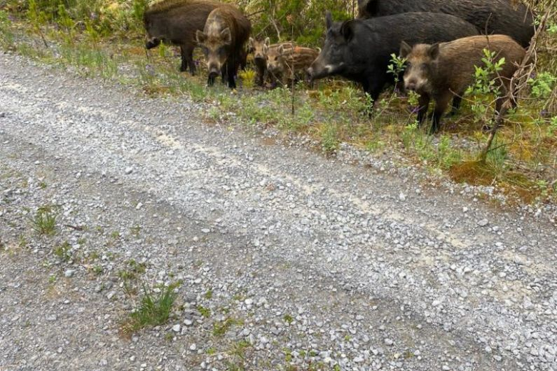No evidence to suggest wild boar was infected with African swine fever