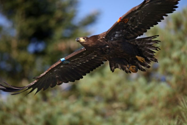 White-tailed eagles to be released in North Kerry and West Limerick