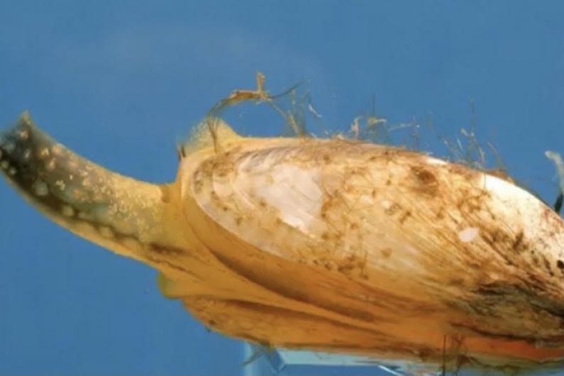 New invasive species of mussel discovered on Lough Ree