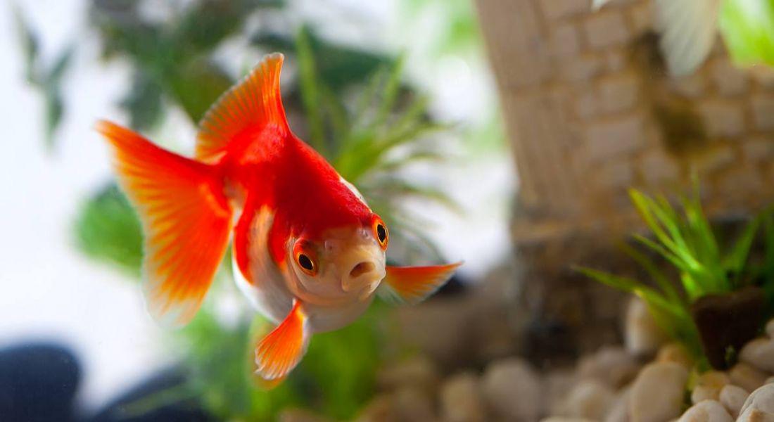 millenials goldfish attention span