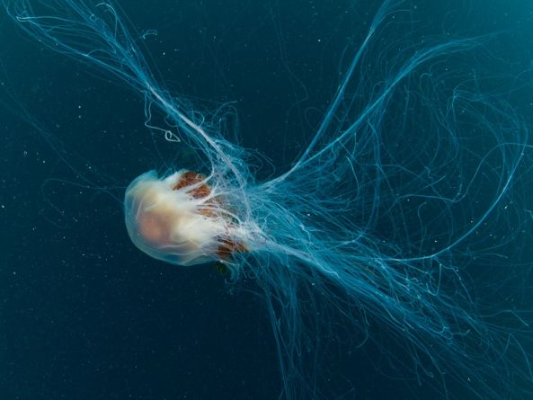 How do you treat a lion's mane jellyfish sting?