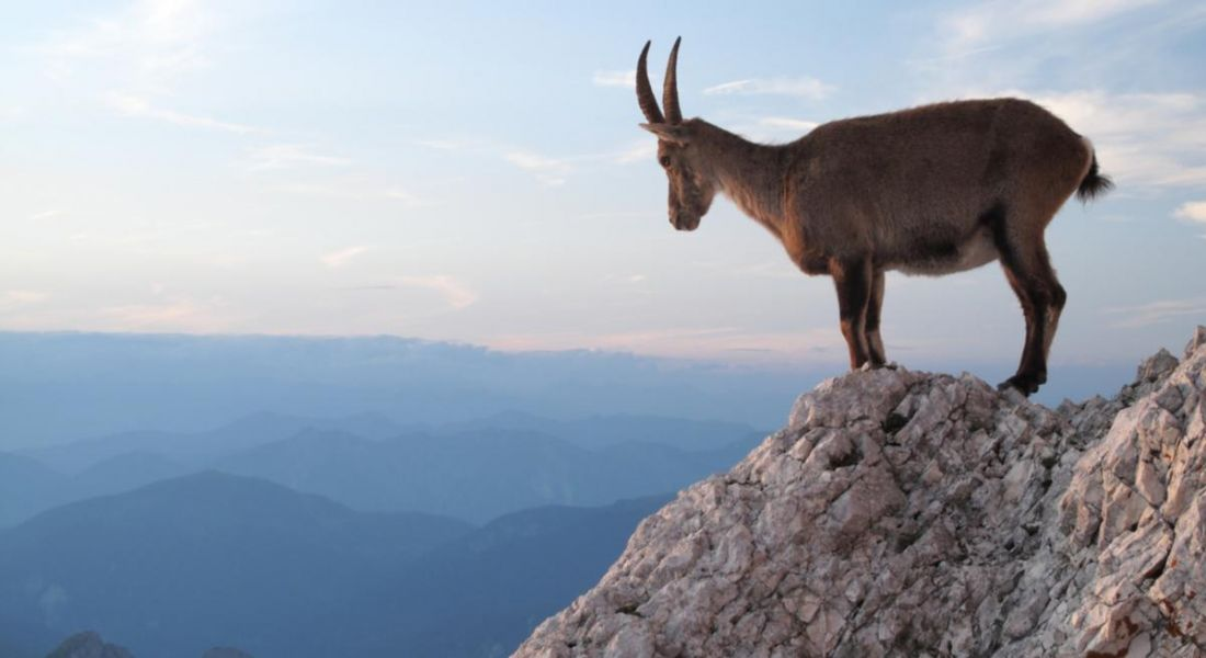 A mountain goat perched on a rock representing a person finding a steady footing and looking to the future.