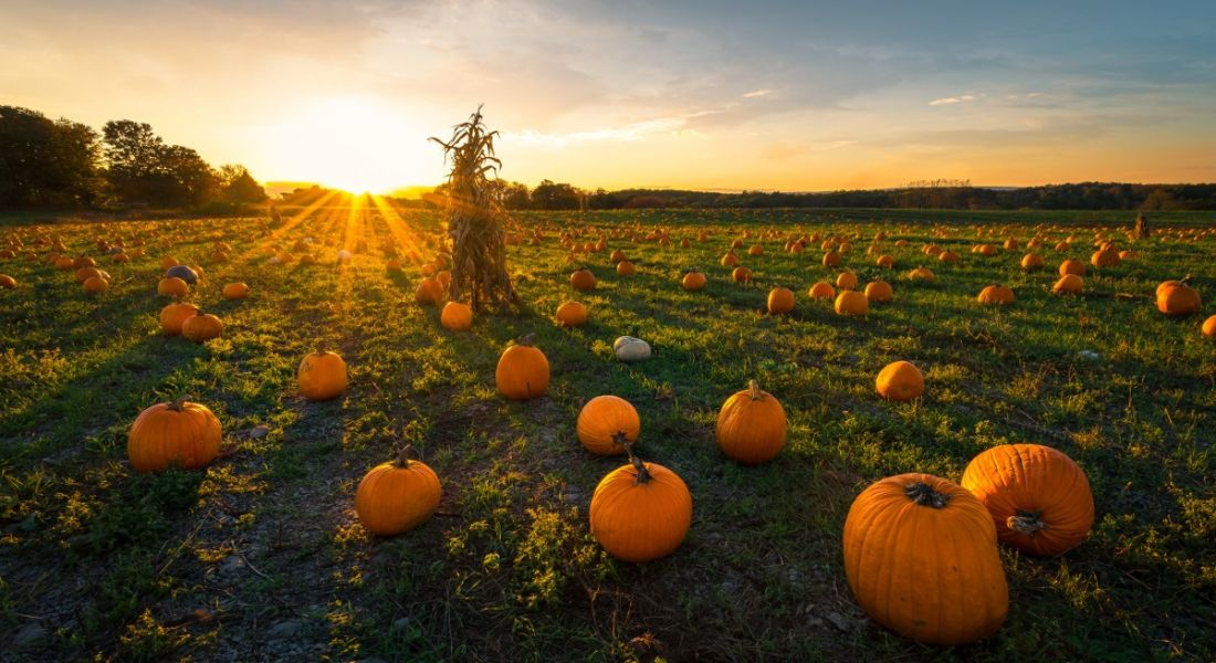A sun rising over a green field dotted with pumpkins of various shapes and sizes on a crisp, clear autumn morning.