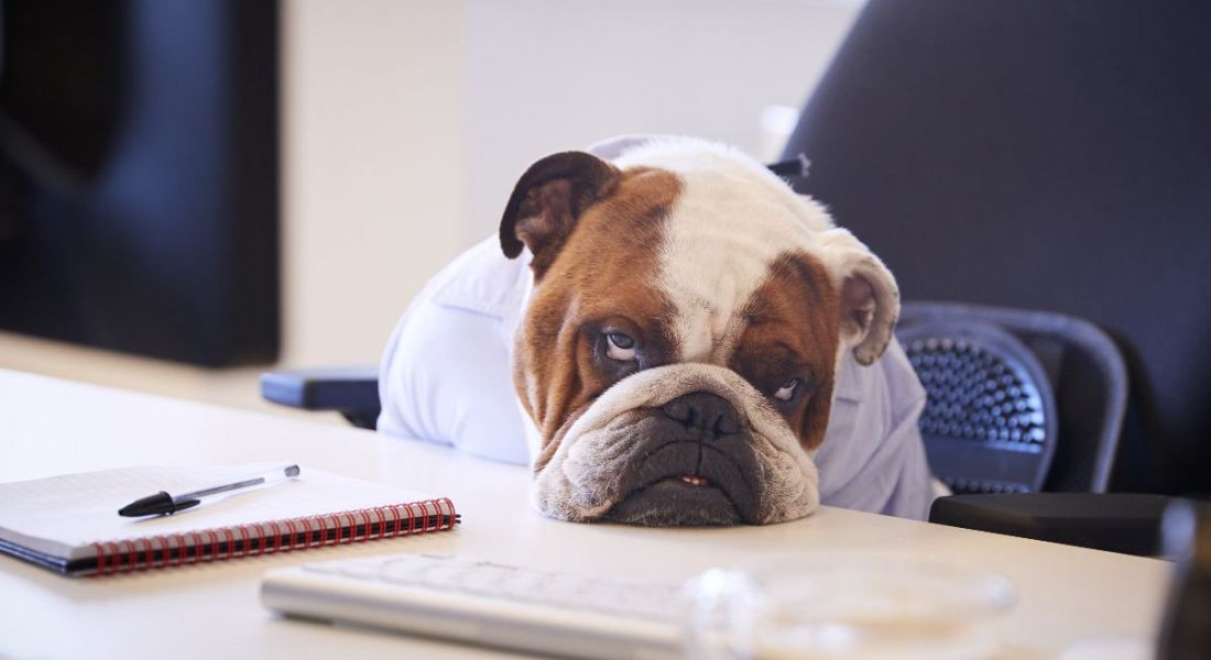 A bulldog at a desk with a notebook on it. His head is resting on the desk and he looks like he might die of boredom.