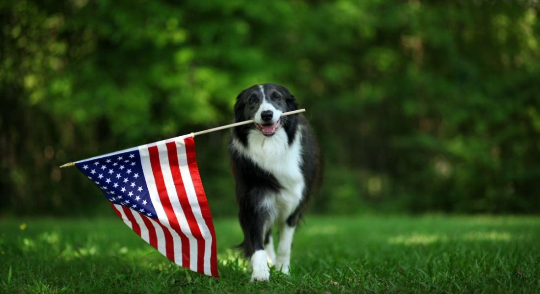 Happy border collie carrying a US flag in its mouth walking across green field.