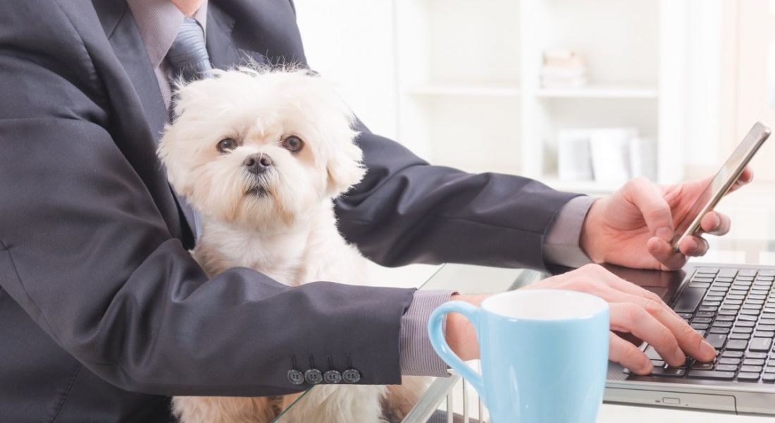 A small fluffy white dog sitting in the lap of a man in a suit working at a laptop.
