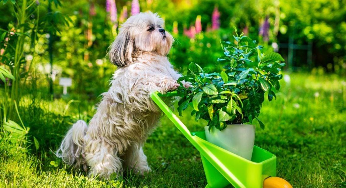 Cute dog in summer garden with wheelbarrow and plant.