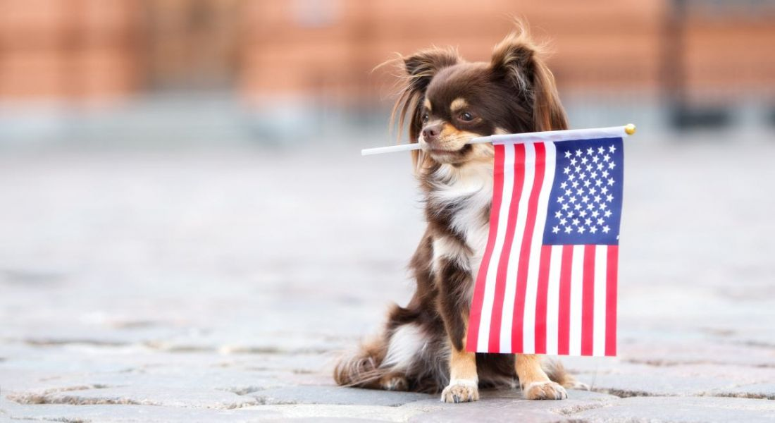 A small chihuahua dog holding an American flag in its mouth.