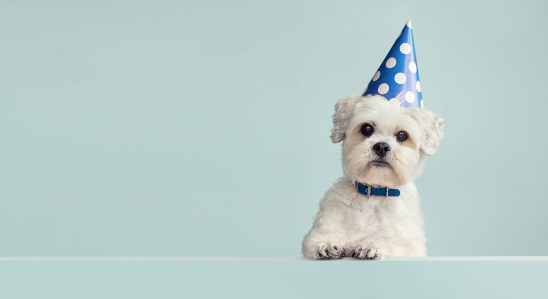 Cute white dog wearing a blue spotted party hat against a pale blue background.