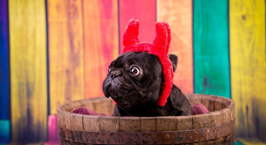 A french bulldog is wearing devil horns and sitting in a bucket against a colourful stripey fence.