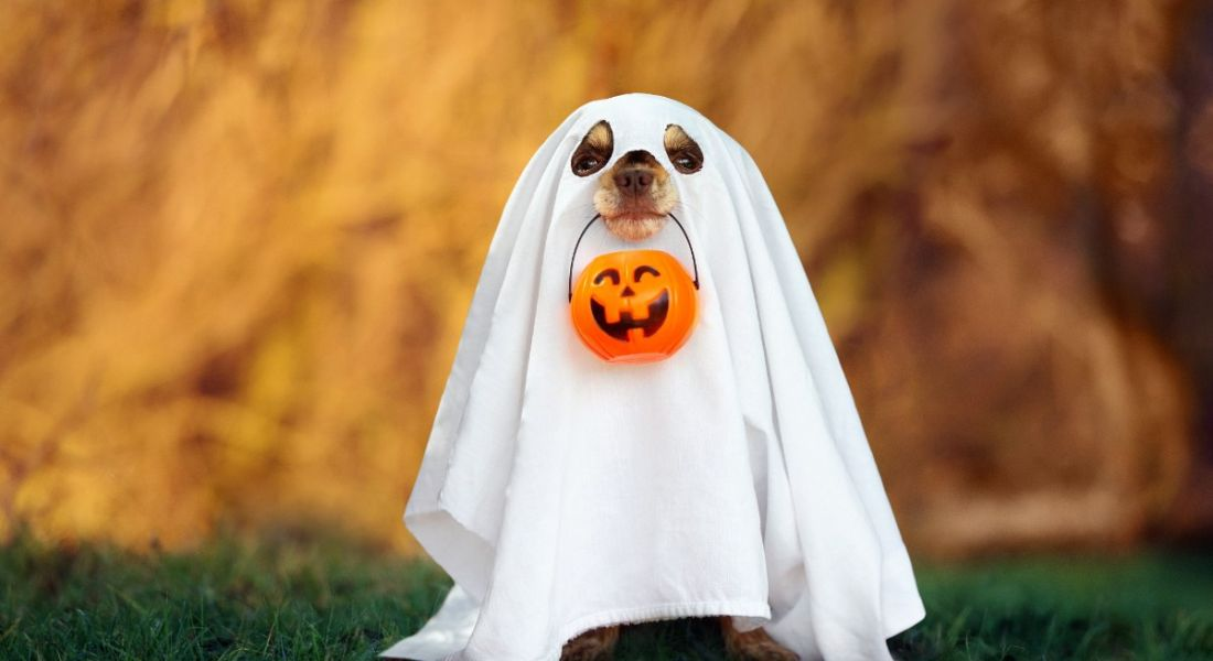 A cute dog is dressed up as a ghost with a pumpkin basket for Halloween.