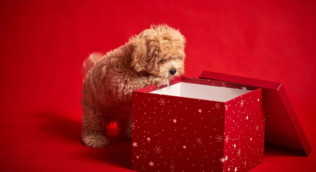 Cute puppy against a red background looking into a gift box for a present, like a new job.