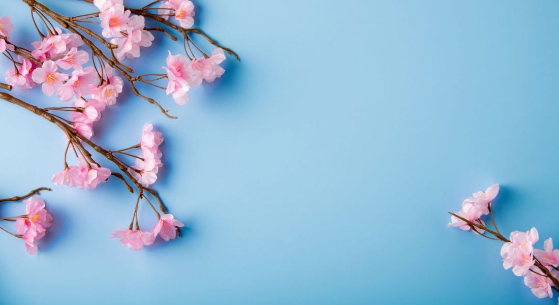 Cherry blossom branches laying against a blue background.