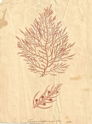 One of botanist Ellen Hutchins seaweed drawings
