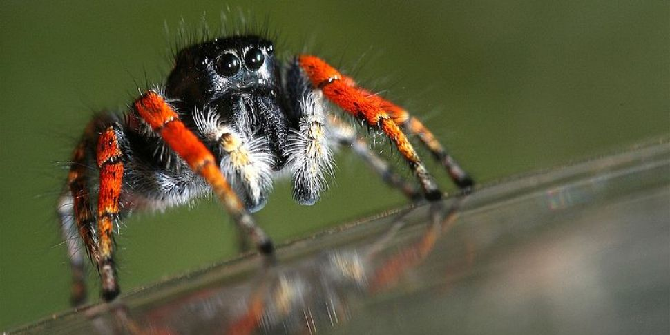 Jumping Spider Spotted In Dubl...