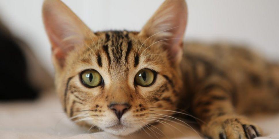There's A Virtual Cat Fair Hap...