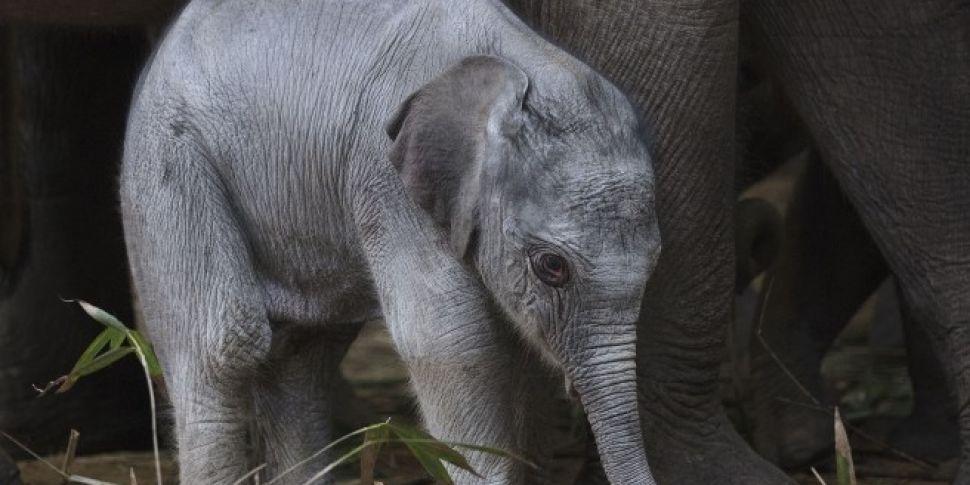 Baby Elephant Born At Dublin Z...