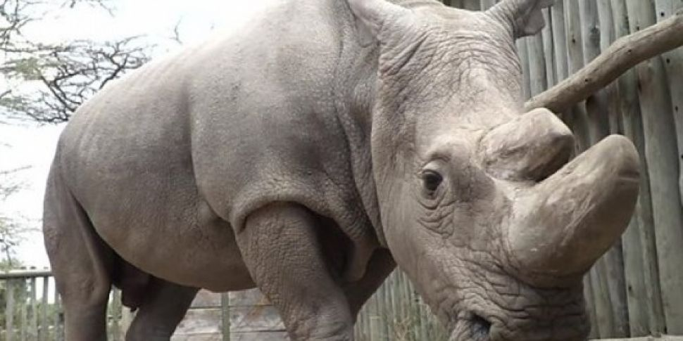Last Ever Male Northern White Rhino Dies
