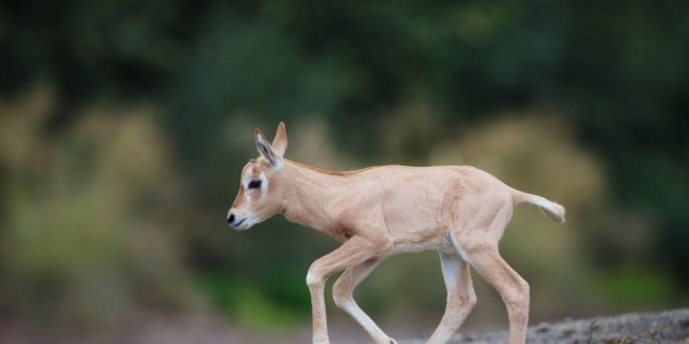 New Calf Born At Dublin Zoo