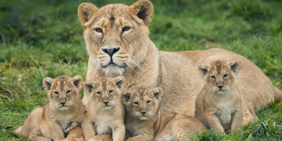 Four Asian Lion Cubs Born In F...