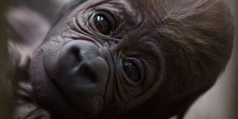 A Baby Gorilla Has Been Born A...