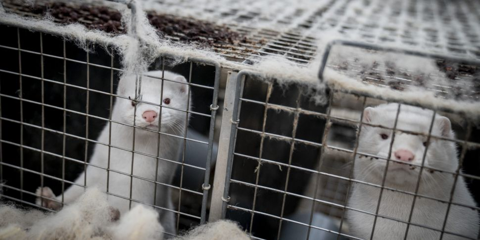 100,000 Mink To Be Culled To S...