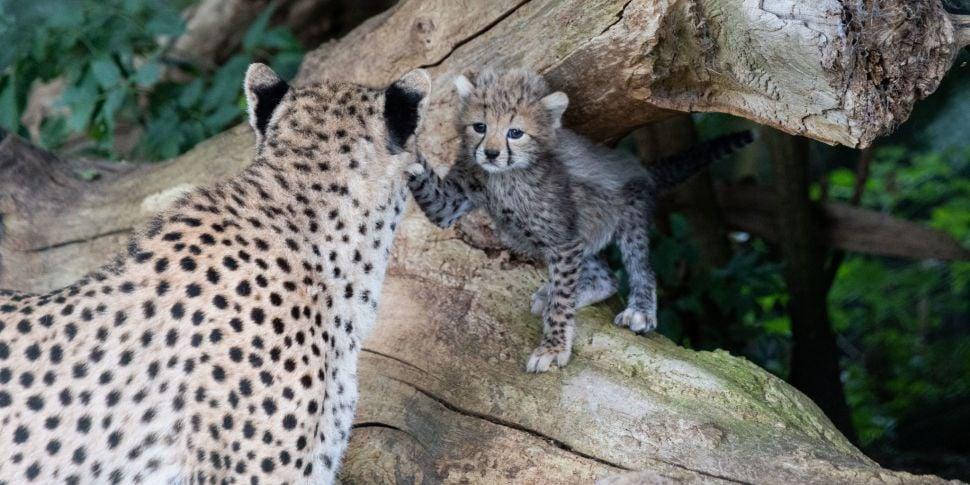 CUTENESS OVERLOAD: Five Cheeta...