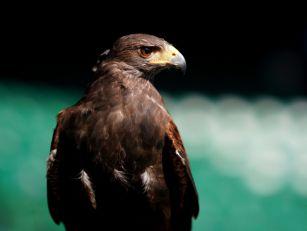 A Hawk That Patrols Heathrow A...