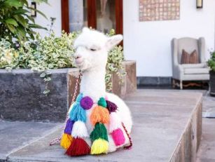 You Can Facetime An Alpaca For...