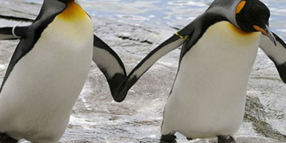 Gay Penguins Kidnap Baby Chick From Straight Couple