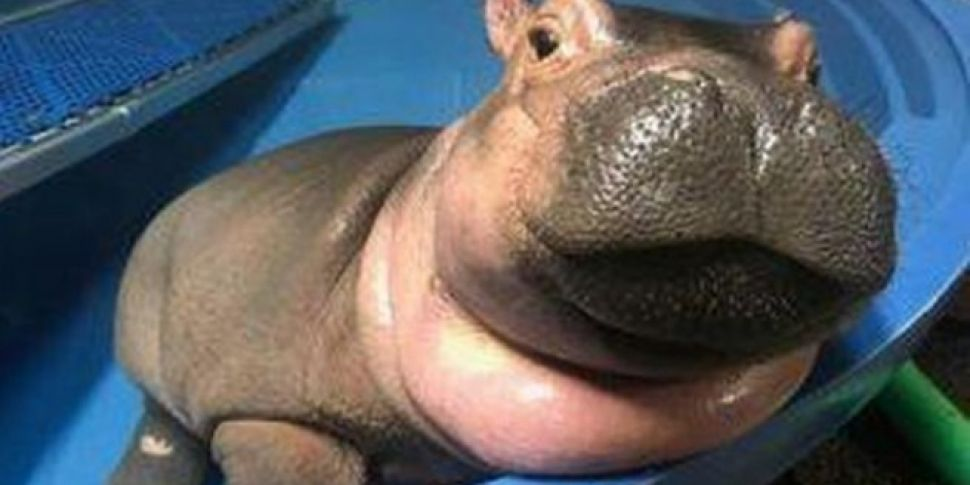 Fiona The Hippo Gets Asked On A Date By Fellow Hippo