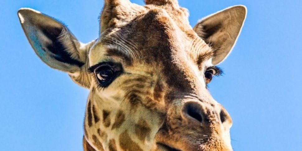Chester Zoo Need A Keeper To Look After The Giraffes And Rhinos