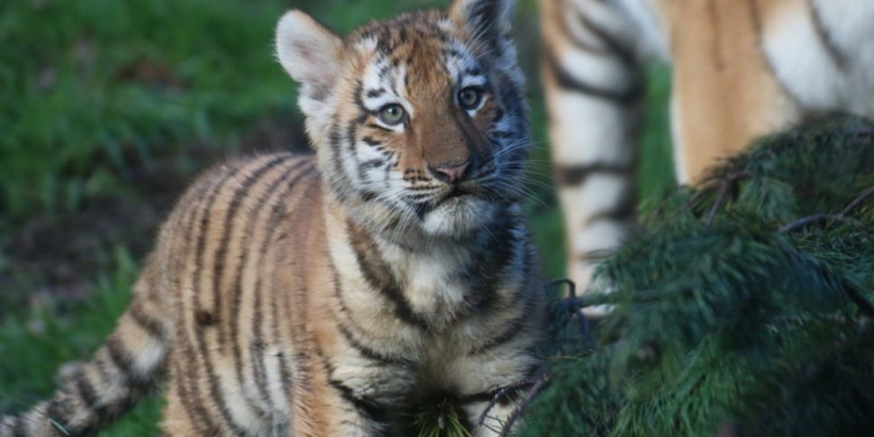 Two Tiger Cubs Born At Dublin...