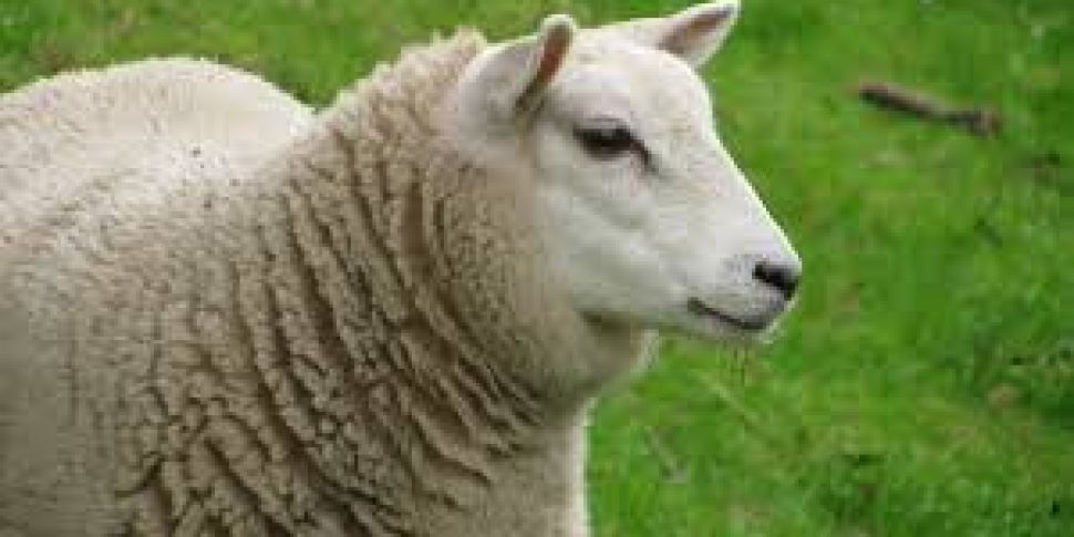 More Than 100 Sheep Stolen In...