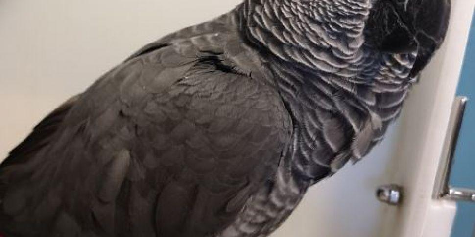 Dublin Airport Parrot Reunited...