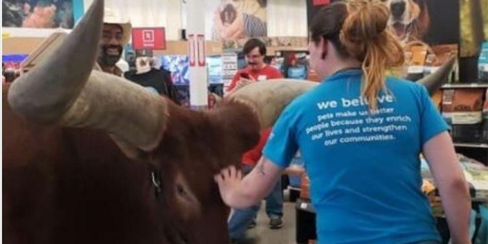 Holy Cow! Farmer Walks Giant S...